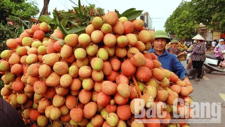 Sebanyak 2 ton buah leci Vietnam laris dijual di Jepang hanya dalam sehari - ảnh 1