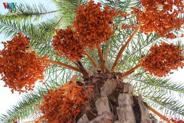 El mayor jardín de palmeras datileras en la región suroeste de Vietnam - ảnh 10
