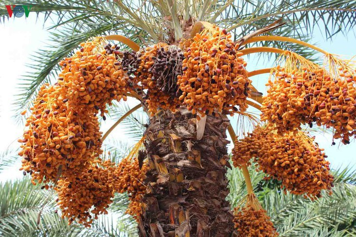 El mayor jardín de palmeras datileras en la región suroeste de Vietnam - ảnh 1