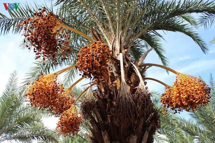 El mayor jardín de palmeras datileras en la región suroeste de Vietnam - ảnh 3