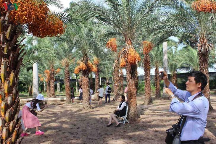 El mayor jardín de palmeras datileras en la región suroeste de Vietnam - ảnh 5