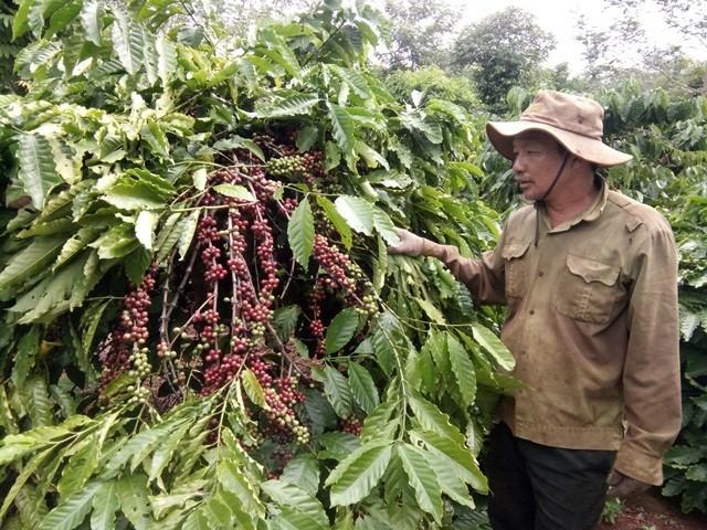 Alta efectividad de la asociación público-privada en la producción sostenible de café en Dak Lak - ảnh 1
