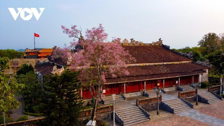 Des Parasols chinois en fleur dans la cité impériale de Huê - ảnh 1