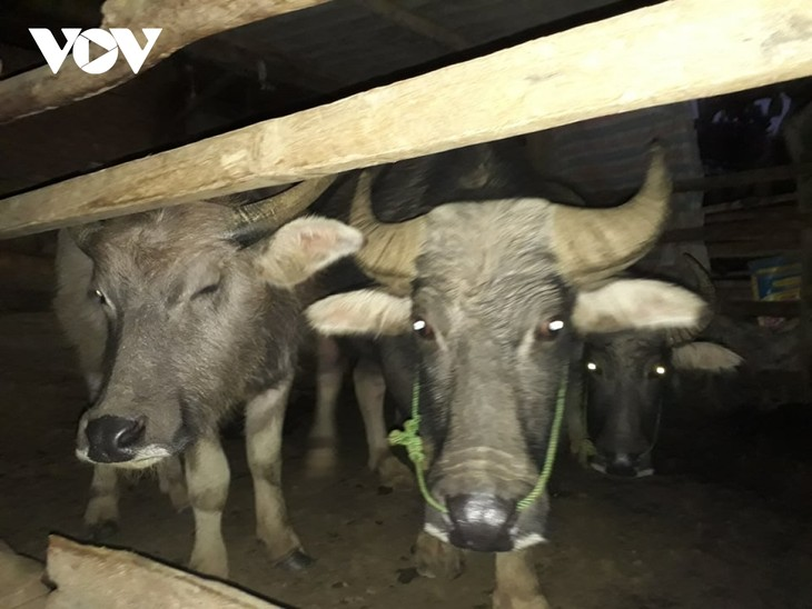 Adat Sembahkan Roh Kerbau dari Warga Etnis Minoritas Thai di daerah Tay Bac - ảnh 1