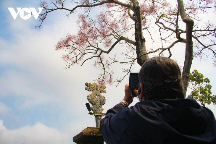 """Asyik Pandangi """"Bunga Pohon Parasol"""" (Ngo Dong)  Bermekaran di Benteng Hue  - ảnh 12"""