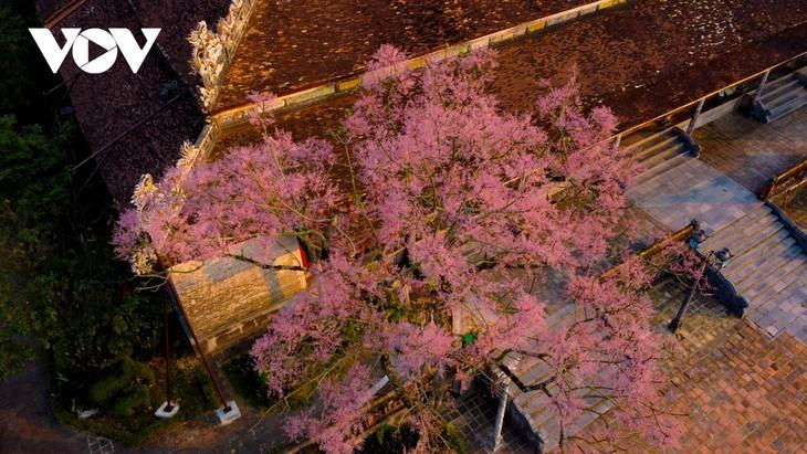 """Asyik Pandangi """"Bunga Pohon Parasol"""" (Ngo Dong)  Bermekaran di Benteng Hue  - ảnh 14"""