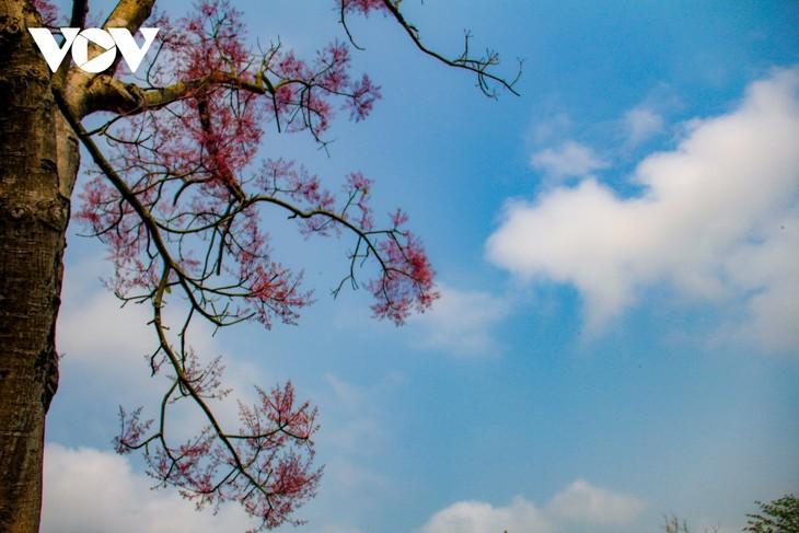 """Asyik Pandangi """"Bunga Pohon Parasol"""" (Ngo Dong)  Bermekaran di Benteng Hue  - ảnh 3"""
