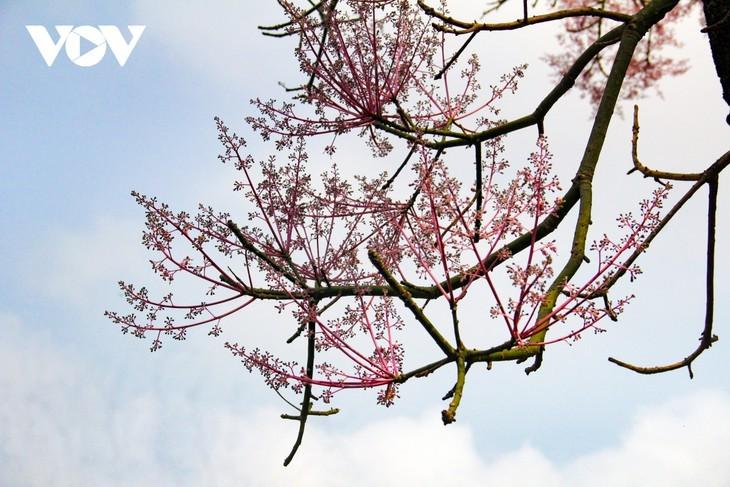 """Asyik Pandangi """"Bunga Pohon Parasol"""" (Ngo Dong)  Bermekaran di Benteng Hue  - ảnh 5"""