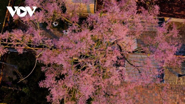 """Asyik Pandangi """"Bunga Pohon Parasol"""" (Ngo Dong)  Bermekaran di Benteng Hue  - ảnh 6"""