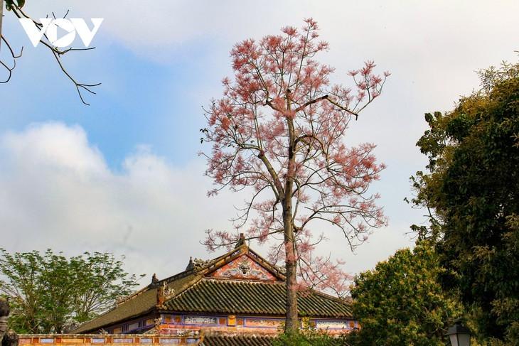 """Asyik Pandangi """"Bunga Pohon Parasol"""" (Ngo Dong)  Bermekaran di Benteng Hue  - ảnh 7"""