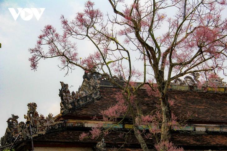 """Asyik Pandangi """"Bunga Pohon Parasol"""" (Ngo Dong)  Bermekaran di Benteng Hue  - ảnh 10"""