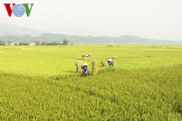FAO prognostiziert, dass Vietnam zu den fünf weltweit größten Reisproduzenten zählt - ảnh 1