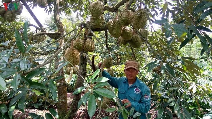 Entwicklung des Modells über Anbau von Obstsorten in Kaffee-Gärten zur Anpassung an Klimawandel - ảnh 1