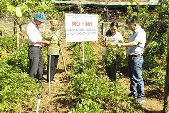 지속가능한 개발을  지향하는 약초 재배 사업 - ảnh 1