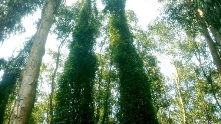 안장성 짜스 티트리 숲의 아름다움 - ảnh 8