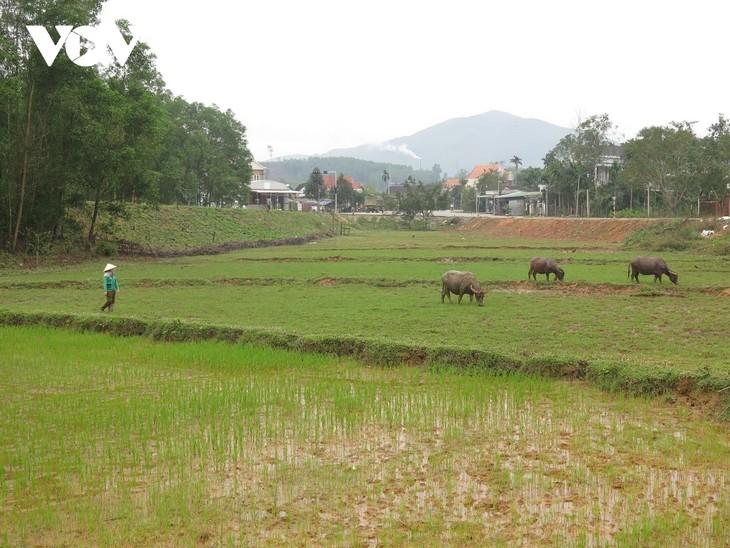 꽝응아이(Quảng Ngãi)성 허레(Hrê)족 공동체, 물소로 빈곤 해결 - ảnh 1