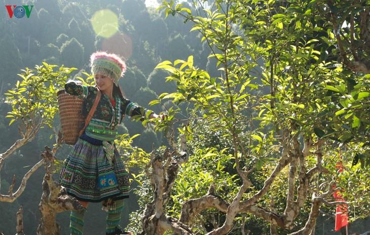 តែ Shan Tuyet នៅឃុំ Suoi Giang- ក្លិនក្រអូបស្រស់ស្រាយពាសពេញតំបន់ព្រៃភ្នំភាគពាយព្យ - ảnh 1