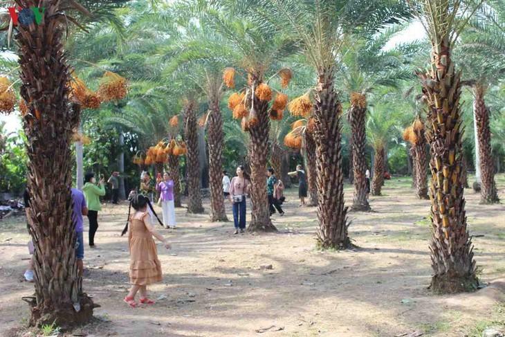 Memandangi keindahan kebun kurma paling besar di Daerah Dataran Rendah Sungai Mekong - ảnh 5