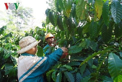 Hasil-guna program kerjasama negara-swasta dalam produksi kopi yang berkelanjutan di Provinsi Dak Lak - ảnh 1