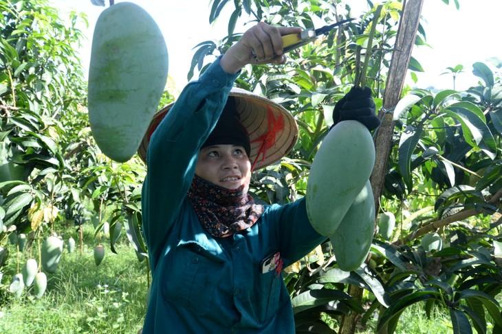 Provinsi Son La memperkuat ekspor hasil pertanian - ảnh 1