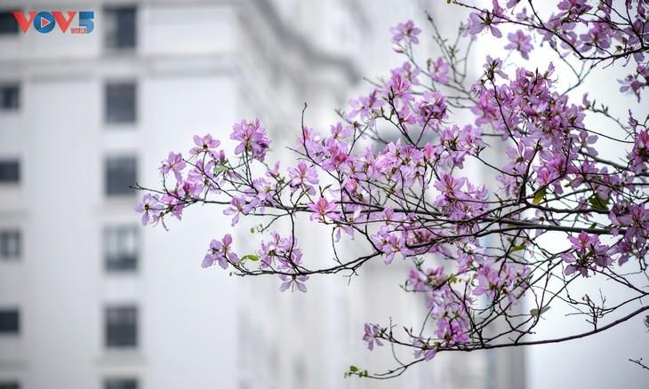 Bunga Ban Bermekaran Lebih Dini di Kota Ha Noi - ảnh 7