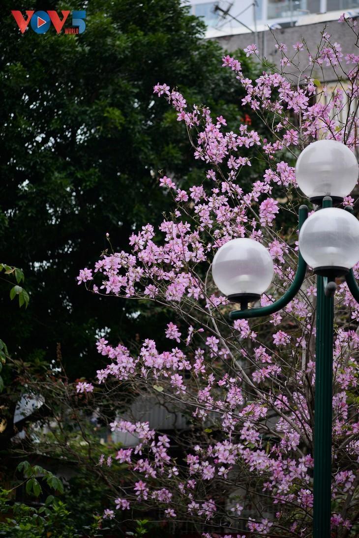 Bunga Ban Bermekaran Lebih Dini di Kota Ha Noi - ảnh 8