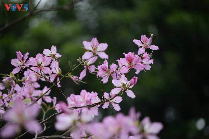 Bunga Ban Bermekaran Lebih Dini di Kota Ha Noi - ảnh 2