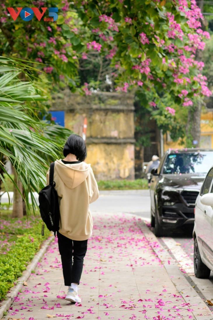 Bunga Ban Bermekaran Lebih Dini di Kota Ha Noi - ảnh 12