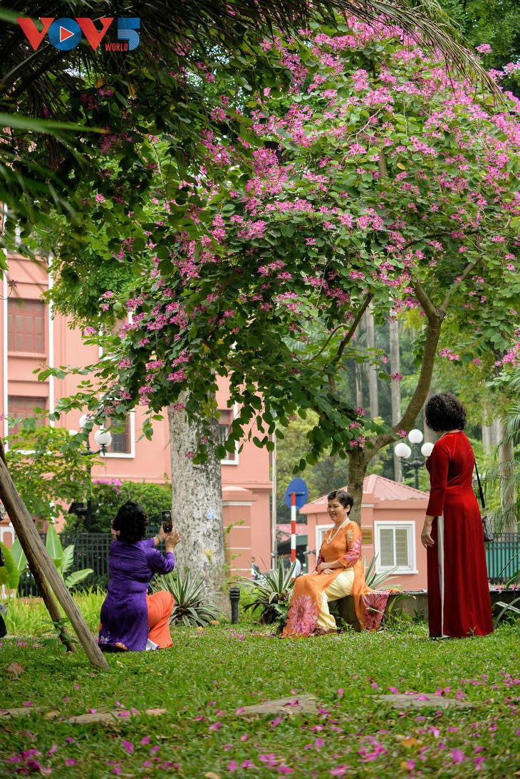 Bunga Ban Bermekaran Lebih Dini di Kota Ha Noi - ảnh 11