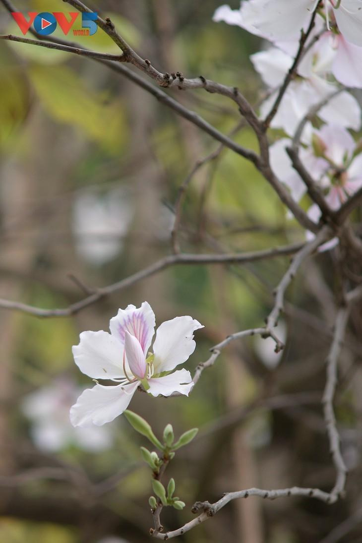 Bunga Ban Bermekaran Lebih Dini di Kota Ha Noi - ảnh 5