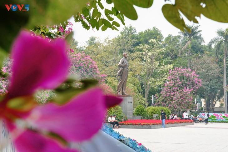 Bunga Ban Bermekaran Lebih Dini di Kota Ha Noi - ảnh 13