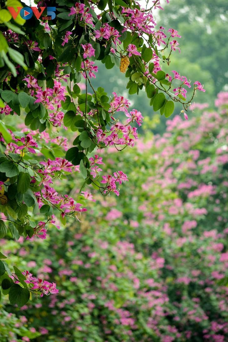 Bunga Ban Bermekaran Lebih Dini di Kota Ha Noi - ảnh 14