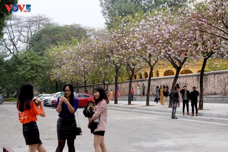 Bunga Ban Bermekaran Lebih Dini di Kota Ha Noi - ảnh 3