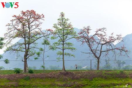 越南北部乡村鲜艳夺目的红色木棉花 - ảnh 11