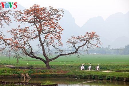越南北部乡村鲜艳夺目的红色木棉花 - ảnh 12