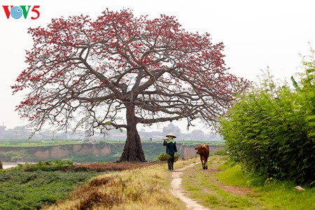 越南北部乡村鲜艳夺目的红色木棉花 - ảnh 13