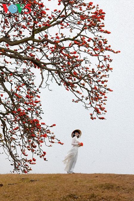 越南北部乡村鲜艳夺目的红色木棉花 - ảnh 4
