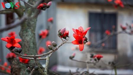 越南北部乡村鲜艳夺目的红色木棉花 - ảnh 6