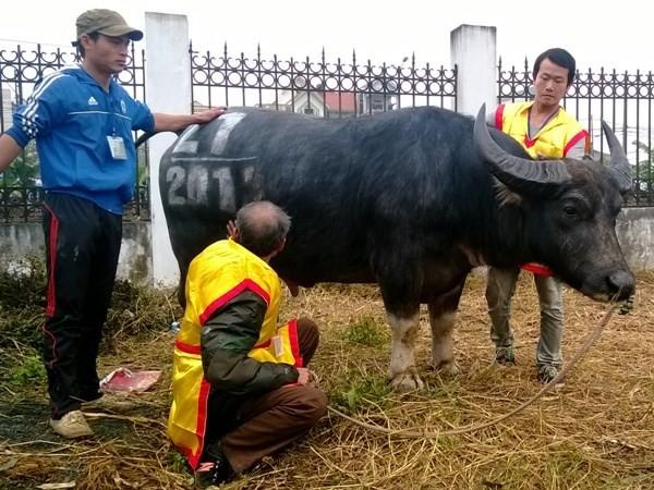 First buffalo fighting festival in Hanoi  - ảnh 9