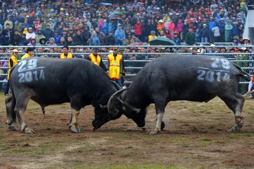 First buffalo fighting festival in Hanoi  - ảnh 3