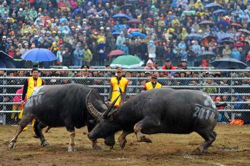 First buffalo fighting festival in Hanoi  - ảnh 5