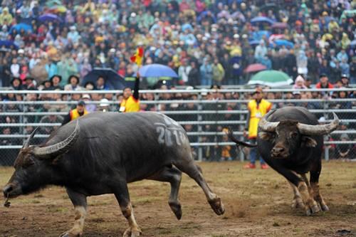 First buffalo fighting festival in Hanoi  - ảnh 6