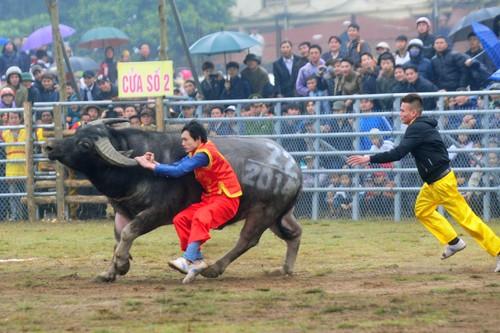 First buffalo fighting festival in Hanoi  - ảnh 7
