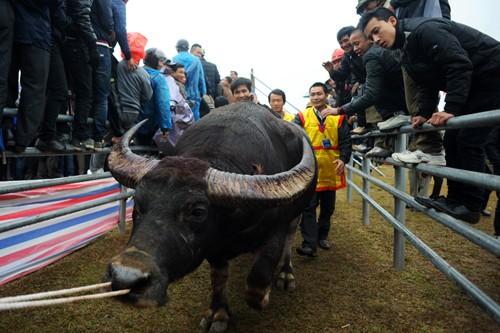 First buffalo fighting festival in Hanoi  - ảnh 8