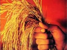 Over 100 Noble laureates slam Greenpeace for opposing GMOs - ảnh 1