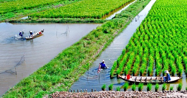 Soc Trang farmers earn high from shrimp-rice farming - ảnh 2