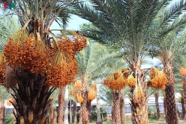 Biggest date palm garden in the Vietnam's southwestern region - ảnh 4