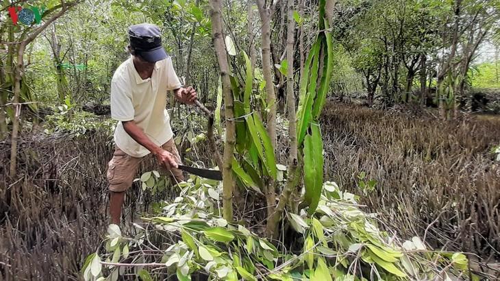 Growing dragon fruit on avicennia trees in Ca Mau proves profitable - ảnh 1