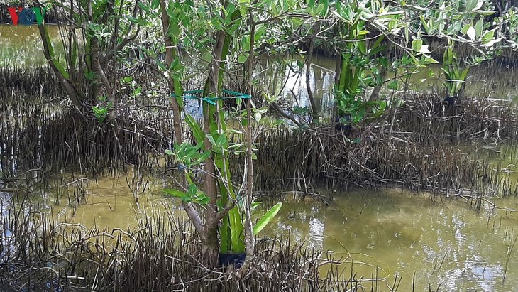 Growing dragon fruit on avicennia trees in Ca Mau proves profitable - ảnh 2