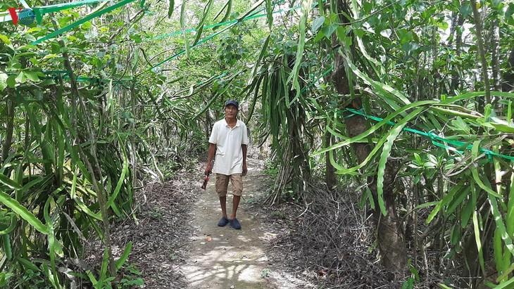 Growing dragon fruit on avicennia trees in Ca Mau proves profitable - ảnh 3